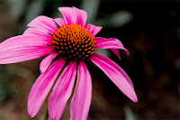 PURPLE CONEFLOWER SMALL